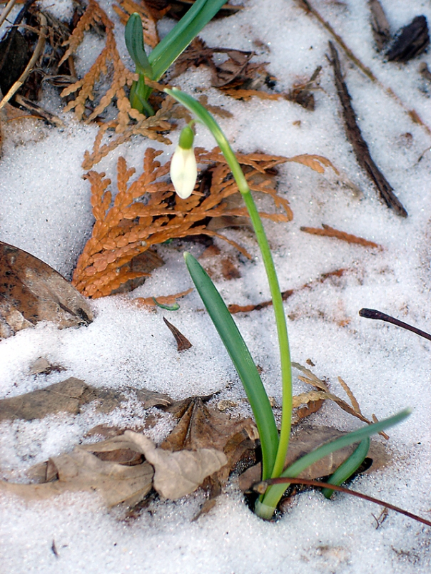 snowdrop2_photo