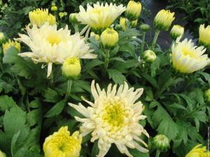 galerie-membrefleur-chrysanthemele-12-octobre-20006-012