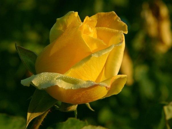 rose_1_bg_100502