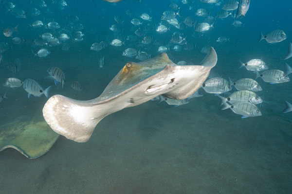 Common Stingray 013