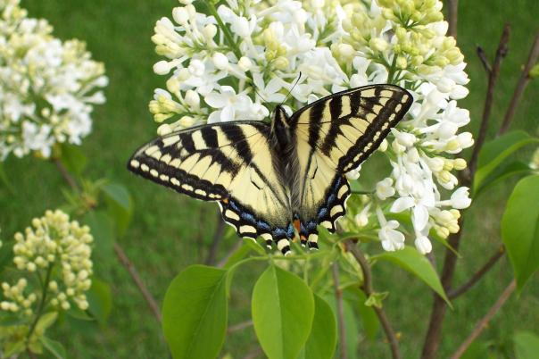 white-lilac-and-butterfly