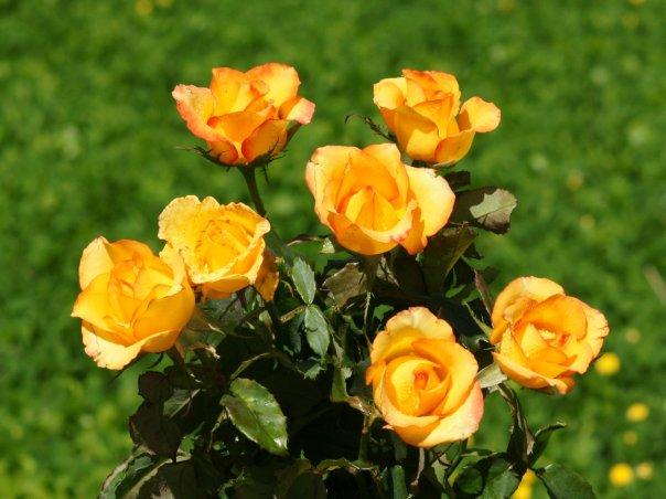 roses_wallpaper